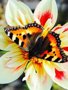 Tortoise shell butterfly on dahlia Beautiful Bugs, Beautiful Butterflies, Beautiful Flowers, Flying Flowers, Butterflies Flying, Butterfly Kisses, Butterfly Flowers, Butterfly Canvas, Flora Und Fauna