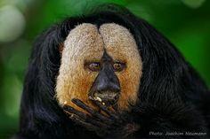 Who said monkey??? - White-faced Saki-