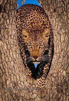 What a Beauty!! Leopard hiding in plain sight