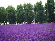 Lavenders in Furano