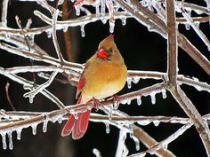 Beautiful female Cardinal bird is surrounded by ice covered branches and icicles on a rainy Winter day in New England. Image captured in January in New Hampshire.