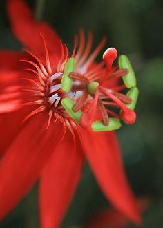 Passiflora vitifolia - Scarlet Red Passion Flower - by Sharon Mau
