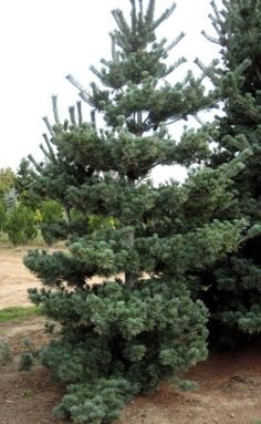 Pinus parviflora 'Tempelhof' ... irregular branching lends itself to an Asian theme. bonus: blue needles and the cutest cones ever.