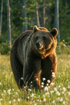 Interesting facts about bears. Forest Animals, Nature Animals, Animals And Pets, Cute Animals, Bear Pictures, Animal Pictures, Bear Photos, Wildlife Photography, Animal Photography
