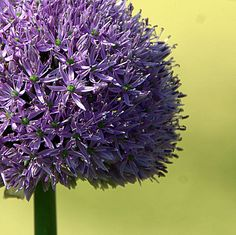Garden design and gardening. Learn online with experts including Piet Oudolf, Dr Noel Kingsbury, Andy McIndoe and more. Gardening Courses, Allium, How To Dry Basil, Garden Design, Garden Ideas, Cottage, Herbs, Plants, Noel
