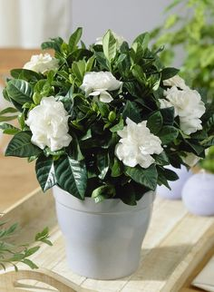 Gardenia in bedroom