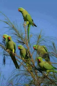 Indian ringneck parrots.