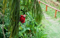 Parrot peaking out from the green bushes in Puerto Narino