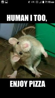 Pizza bandit--My first rat , Ben used to love pizza and coffee. I ate that every day at work so I could share with him. I worked at a department store in the pet department. He belonged to my boss and when the store closed, Bill allowed me to take Ben home because of the close bond that we had .
