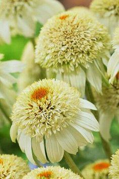Echinacee secret joy, j'en veux dans mon jardin