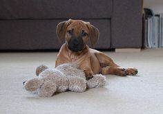 rhodesian ridgeback puppy with toy | Marco Paparozzi | Flickr
