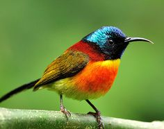 """""""The Green-tailed Sunbird (Aethopyga nipalensis) is a living jewel of the subtropical and tropical montane forests of the East."""""""