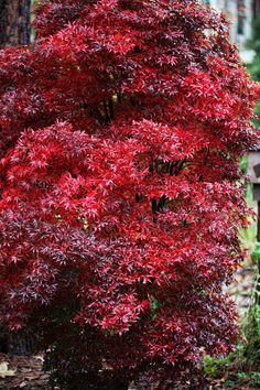FALL FOLIAGE...Acer palmatum 'Twombley's Red Sentinel'   A columnar Japanese Maple whose brilliant red foliage lasts through summer, turning crimson in the fall. Shines in the landscape. So pretty!!