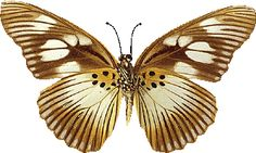 tubes papillons - Page 24 Types Of Butterflies, Moth, Insects, Bee, Butterfly, Animals, Google, Flowers, Papillons