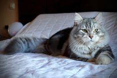 Gizem Noche Blanca of Aurora Glow Siberian Cat, Cats, Aurora, Glow, Animals, Gatos, Animales, Animaux, Northern Lights