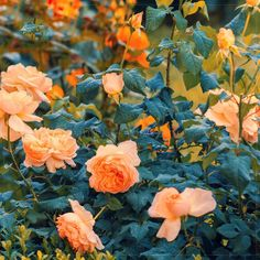 Amazon.com : Best Garden Seeds 'Gloire De Dijon' Subtle Fragranced Climbing Rose, 50 Seeds, Professional Pack, Buff Yellow Old Favourite Flower : Patio, Lawn & Garden