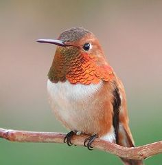 Rufous Hummingbird Selasphorus rufus - Male. Photo by ©William Zittrich.