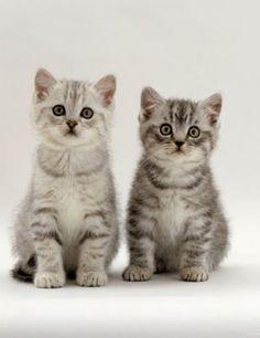 ♔ Pair of cute kittens