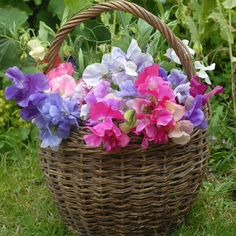 Sweet peas are in season for late spring/summer weddings. Not just in pastels, you can find vibrant colours in many varieties. And they have a wonderful fragrance. Perfect for both table centres and bouquets, with a vintage cottage garden style appeal