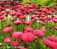 Kaunokainen Bellis perennis / bellis, tusensköna. Kukkii touko-elo. Lähilajit ja lajikkeet: Galaxy-, Pomponette-, Roggli-, Tasso-lajikkeet, 'Alba Plena', 'Purpurmantel', Robella' Kuvaus: Lehtien korkeus on 5 cm, kukinnon 10-15 cm. Lusikkamaiset lehdet matalina tyviruusukkeina. Kukat yksinkertaiset tai kerrotut mykeröt ohuiden kukkavanojen päässä. Moni lajike kylväytyy itsestään, yksittäinen taimi on lyhytikäinen. Kutsutaan myös nimillä tuhatkauno ja bellis.