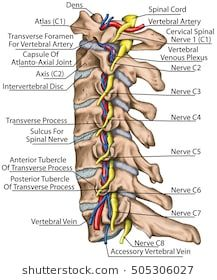 Cervical spine with both vertebral arteries in transverse foramen and the emerging spinal nerves. Topographic relationship of the spinal nerve and vertebral artery. Nerve Anatomy, Brain Anatomy, Yoga Anatomy, Human Body Anatomy, Human Anatomy And Physiology, Medical Anatomy, Muscle Anatomy, Spinal Nerves Anatomy, Arteries Anatomy