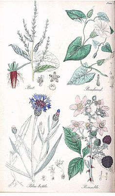 Beet (Beta vulgaris), Bindweed (Calystegia sepium), Blue-bottle (Cyanus segetum), and Bramble, Blackberry (Rubus fruticosus). The British flora medica…(1838)