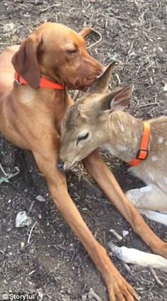 Fawesome pair! This adorable orphaned fawn clearly thinks it's a dog, as it licks its cani...
