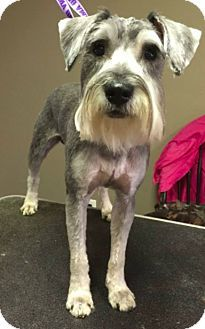 New York, NY - Schnauzer (Standard). Meet Maximus! **FOSTER NEEDED**, a dog for adoption. http://www.adoptapet.com/pet/16527410-new-york-new-york-schnauzer-standard