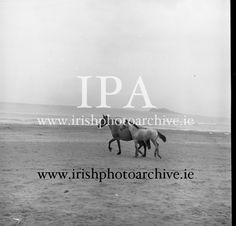 July 1964 Connemara Pony 'Ocean Breeze' with her 4 month old foal at Portmarnock Strand and Malahide. Connemara Pony, 4 Month Olds, Photo Archive, Breeze, Ireland, Irish, Ocean, Gallery, Movie Posters