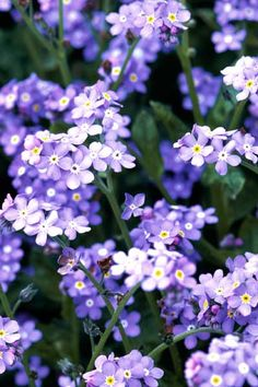 With its mounding habit and flocks of true-blue spring and summer flowers, Forget-Me-Not (Myosotis alpestris) is a charming filler around bulbs and in rock gardens or containers.