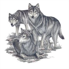 Pen and Ink by Stefanie Clark, via Behance #Art #Wolves #Wolf