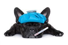 Cuáles son los síntomas del resfriado en perros - http://www.mundoperros.es/cuales-son-los-sintomas-del-resfriado-en-perros/