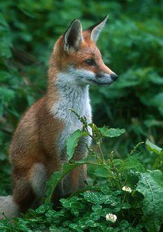 Pretty Little Fox - The Cutest Face !