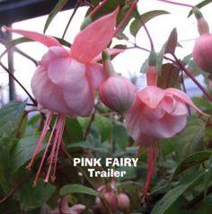 Fuchsias Pink Fairy