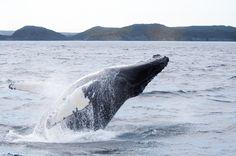 Breaching humpback by Robert Basha on 500px
