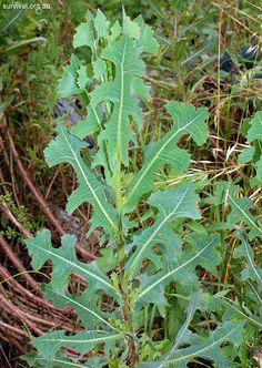 Lactuca serriola - Prickly Lettuce - Edible Weeds and Bush Tucker Plant Foods