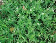 Chickweed Killer: How to Kill Chickweed in Your Grass, Lawn or Garden  LOOK AT THIS WEBPAGE! GREAT TIPS!
