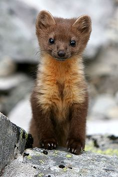 fossa this slinky cross between a cat and a weasel is madagascar s