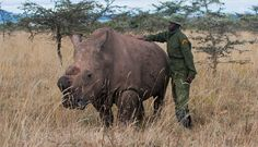 Sudan. This Rhino Is Guarded 24 Hours A Day Because There Is No One Else Like Him Left On Earth