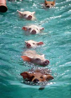 Big Major Cay Island. Swimming with pigs in the Bahamas