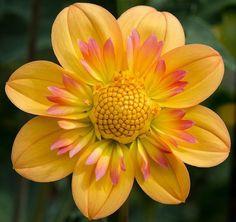 Flores e frases: DÁLIA
