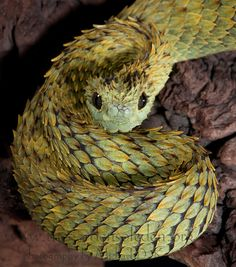 Hairy Bush Viper The Gardens of Eden | DTS Herps 2012