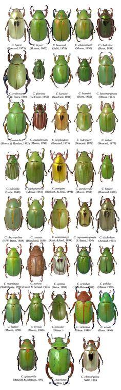 Chrysina species