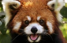 the cutest thing in the entire world, a red panda