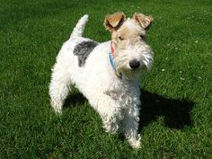 Wired haired fox terrier