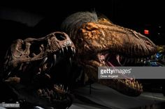 A model of a feathered Tyrannosaurus rex dinosaur stands in a new exhibit called 'T Rex The Ultimate Predator' at the American Museum of Natural. Tyrannosaurus Rex, T Rex, Predator, Dinosaurs, Exhibit, Lion Sculpture, Museum, American, Natural
