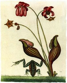 Purple Pitcher Plant (with frog), aka Side-Saddle Flower. Native to the eastern U.S., Great Lakes. and Southeastern Canada. Illustration: 1875. #carnivorousplants