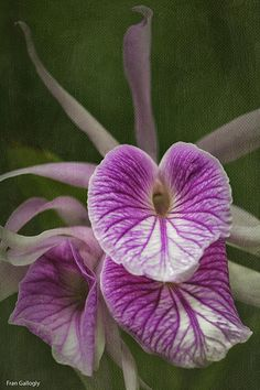 ✯ Brassocattleya Morning Glory