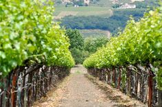 Picture of Vineyard in Spring stock photo, images and stock photography. Vineyard, California, Stock Photos, Spring, Pictures, Photography, Outdoor, Inspiration, Image