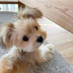 Cute Baby Dogs, Cute Little Puppies, Cute Dogs And Puppies, Cute Little Animals, Cute Funny Animals, Regard Animal, Yorkshire Terrier, Beautiful Dogs, Dog Love